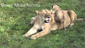 Lion cubs playing in the safety of Mom - YouTube