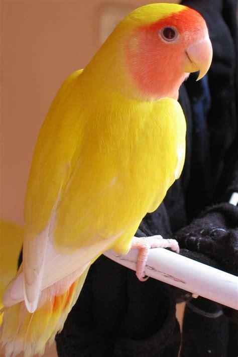Peach Face Love Birds Lutino