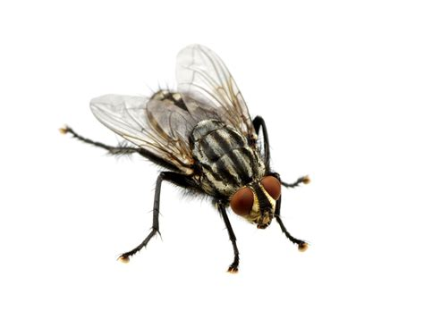 Flies Pest Control  Wellington Pest Management