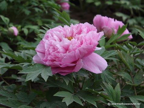 kitchen knives henckel peony flower 28 images beautiful pink and peony