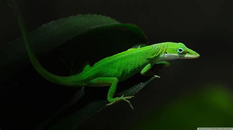 green anole hd wallpaper background image