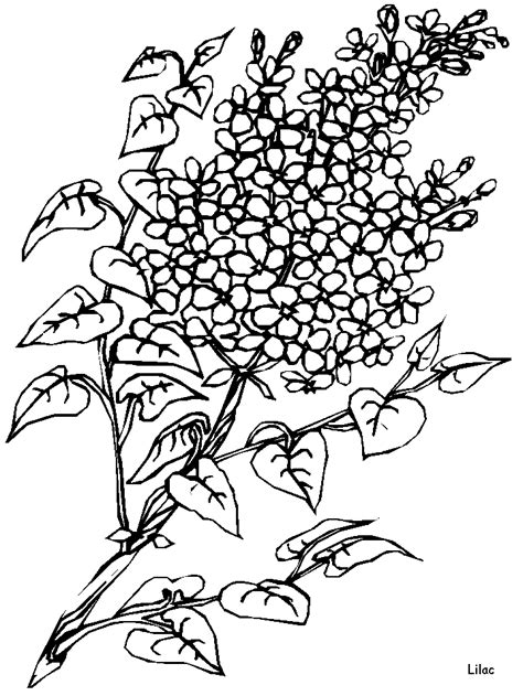 Lilac Flowers Coloring Pages | Downloads and Sketches 4 | Flower coloring pages, Colorful