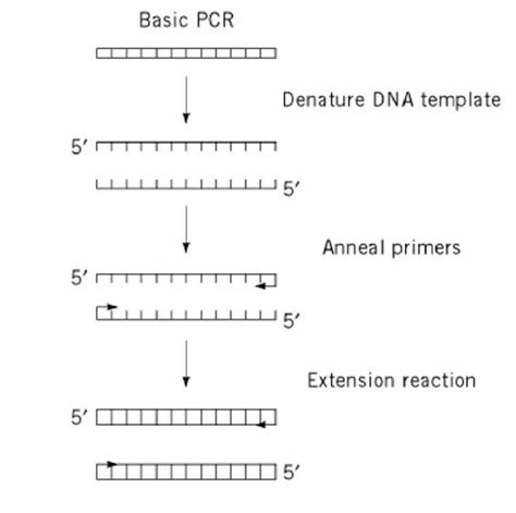Pcr Template Amount by Polymerase Chain Reaction Molecular Biology
