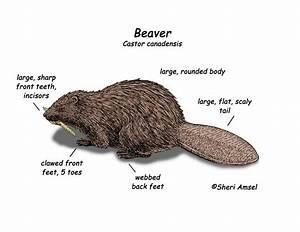 Beaver Diagram