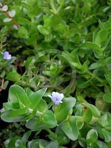 Bacopa caroliniana | Blue Water Hyssop, Lemon Bacopa ...