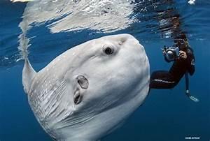 Mola (Sunfish), Mola (Sunfish) Pictures, Mola (Sunfish ...
