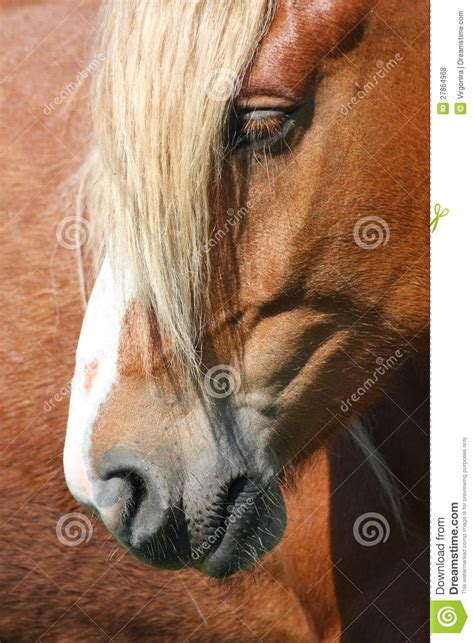palomino horse head close  stock photo image  draft
