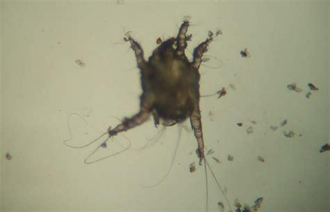 ear mites  cats treatment symptoms blue cross