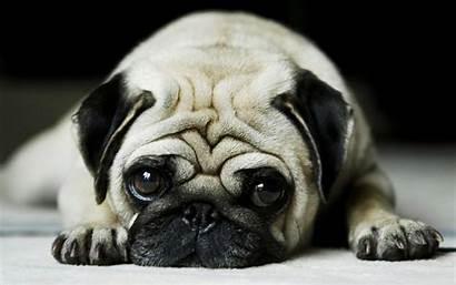 Pug Wallpapers Funny Pugs Desktop Dog Backgrounds