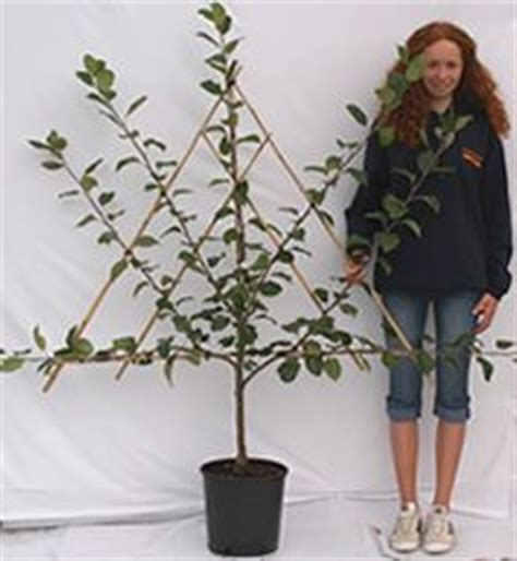 espalier fig trees for sale 1000 images about espalier fruit tree training methods on pinterest espalier fruit trees