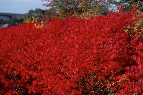 burning bush burning bush shrubs and environment on pinterest