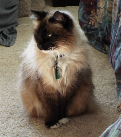 drool cat bad why does siamese pet kitties few had years