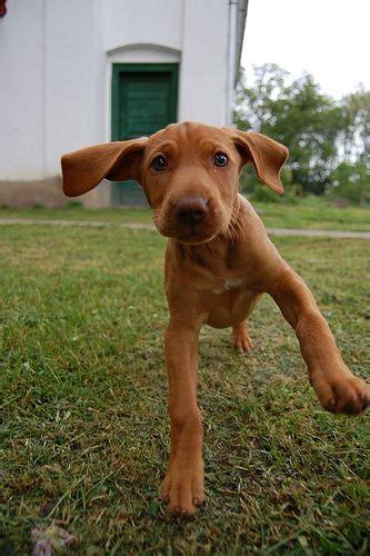 Vizsla Puppy Shedding A Lot by 25 Best Ideas About Vizsla Puppies On