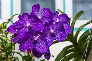 Orchidee Vanda Pflege : vanda orchidee pflegen gie en d ngen schneiden und mehr ~ Lizthompson.info Haus und Dekorationen