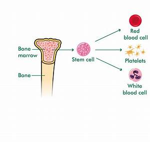 What Are Stem Cells And Bone Marrow