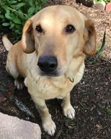 pasta labrador retriever dog for adoption