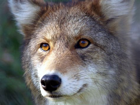 are coyotes color blind coyote eye colors welcome to the taxidermy net forum