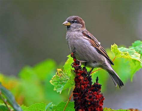 house sparrow facts house sparrow diet and species