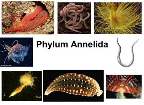 Ciri Ciri Reproduksi Klasifikasi annelida pengertian reproduksi ciri dan klasifikasi