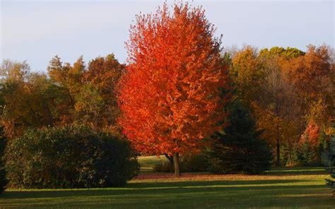 autumn blaze maple autumn blaze maple knecht s nurseries landscaping
