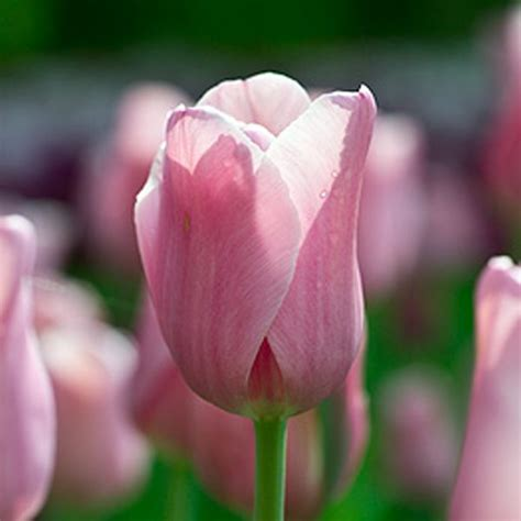 bulbi di tulipano in vaso bulbi tulipano bulbishop it