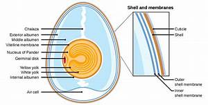 File Anatomy Of An Amiotic Egg Labeled Svg