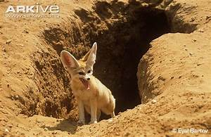 Fennec fox photo - Vulpes zerda - G130237 | Arkive