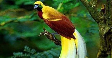 4 burung murai hijau jawa terlangka di dunia lahir di inggris. Fauna Papua Cendrawasih Kuning Besar Si Burung Dari Surga