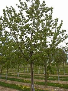 Großen Apfelbaum Kaufen : gro fruchtige s kirsche kordia kaufen hochstamm gro en ~ Lizthompson.info Haus und Dekorationen