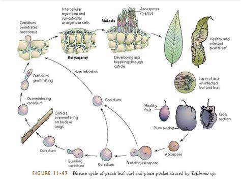 disease cycle  peach leaf curl  plum pocket