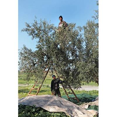 OLEA ancient olive trees in Mediterranean countries