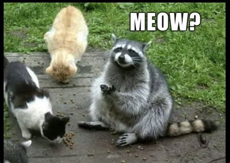 Raccoon Meme - 13 hilarious raccoon memes raccoons hilarious and memes