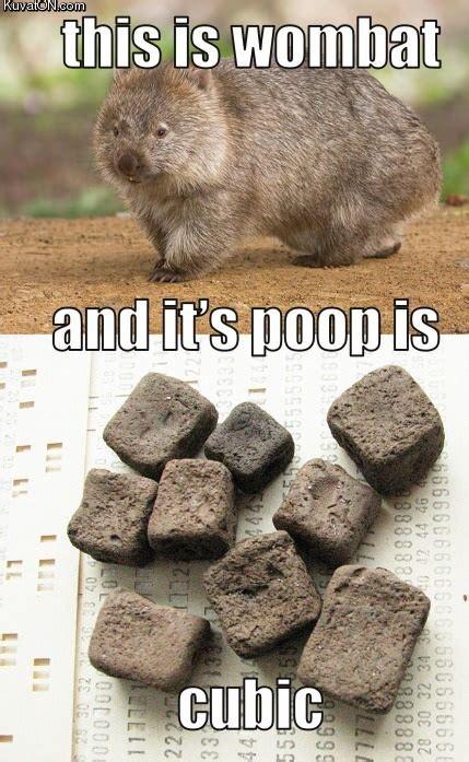 Wombat Memes - wombat cubic poop memes and comics