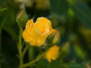 Yellow Wallpaper: Yellow Rose HD Wallpaper Download Free