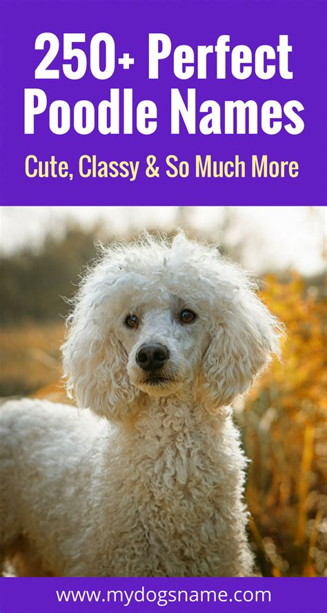 The Ultimate List Of Poodle Names Over 250 Ideas Perfect