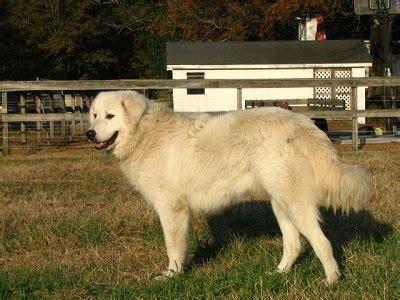 maremma sheepdog info temperament training puppies