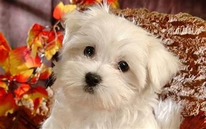 Puppy Desktop Wallpapers Dog Background Lovely Eye