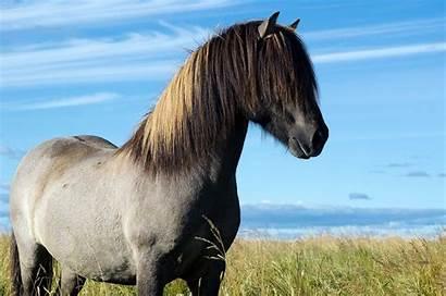 Horse Icelandic Iceland Horses Wild Dun Grulla