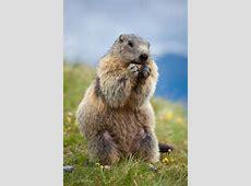 Marmot stock foto Afbeelding bestaande uit bosmarmot