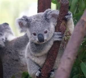 Colored Clovers: Koalas