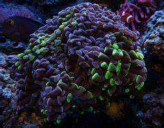 neon green hammer coral up close Aquarium