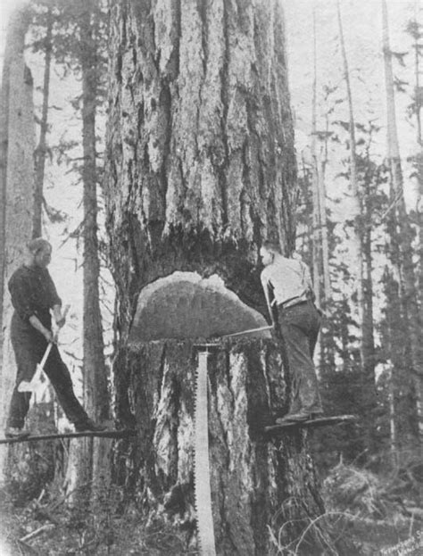 logging felling axes forest history society
