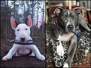Bull Terrier Vs Pit Bull: A Quick Guide About The 2 ...