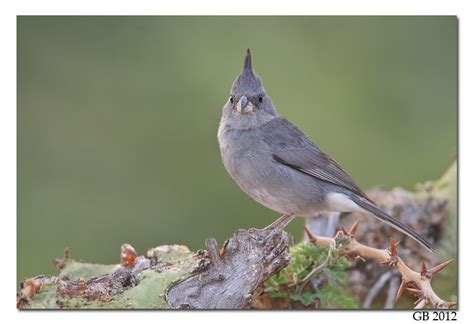 gray crested finch