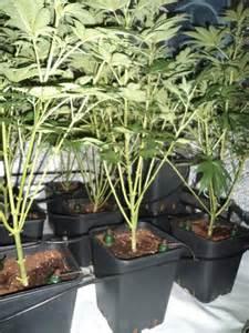 Snow Medical Marijuana Strains
