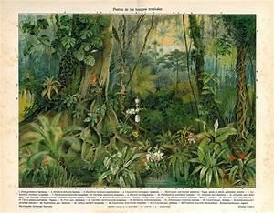 Tropical Forests Plants Print Antique Color Lithograph Ficus