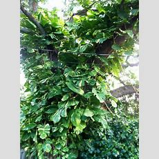 2 Cuttings Giant Pothos Philodendron Tropical Easy Grow