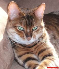 my new favorite cat breed the toyger mini tigers