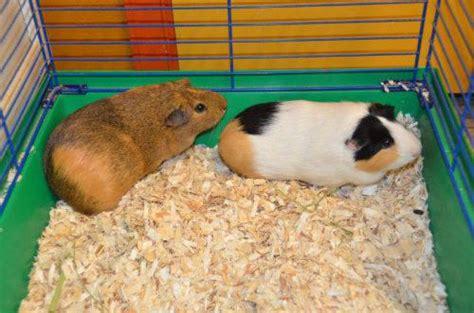 cute female silkie guinea pig long haired  sale