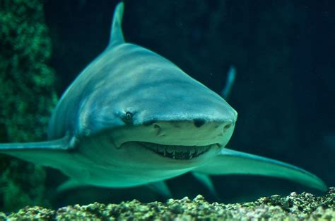 lemon syari sicklefin lemon shark